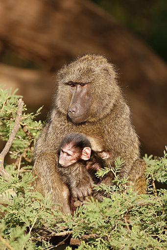 PRM 06 MC0016 01 © Kimball Stock Olive Baboon Family Sitting In Tree Samburu Game Reserve, Kenya