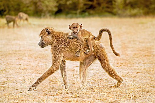 PRM 06 MH0008 01 © Kimball Stock Baby Yellow Baboon Riding On Mother's Back