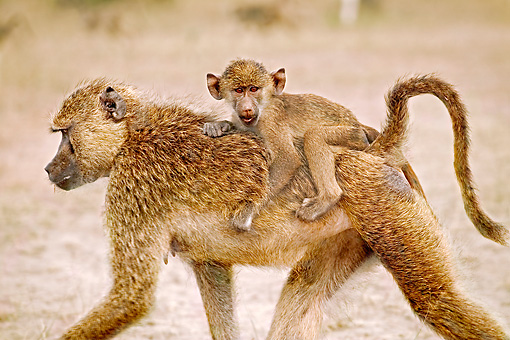 PRM 06 MH0009 01 © Kimball Stock Close Up Of Baby Yellow Baboon Riding On Mother's Back