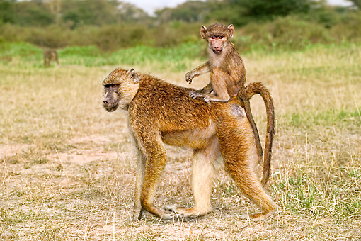 PRM 06 MH0010 01 © Kimball Stock Baby Yellow Baboon Riding On Mother's Back