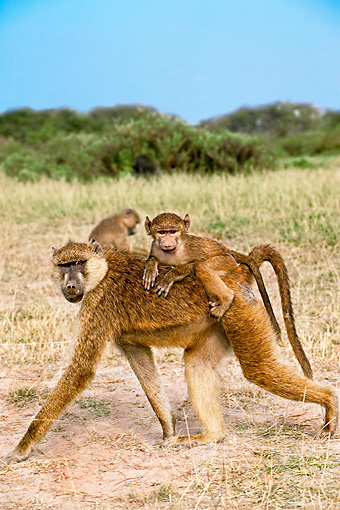 PRM 06 MH0011 01 © Kimball Stock Close Up Of Baby Yellow Baboon Riding On Mother's Back