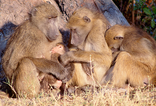 PRM 06 MH0014 01 © Kimball Stock Three Chacma Baboons Sitting On Savanna With Baby