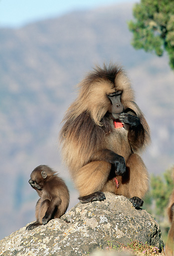 PRM 06 MH0016 01 © Kimball Stock Adult And Baby Gelada Baboons Sitting On Rock On Savanna