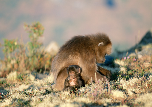 PRM 06 MH0017 01 © Kimball Stock Mother And Baby Gelada Baboons Sitting On Savanna