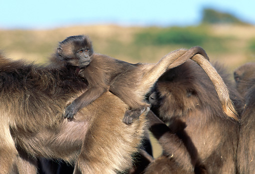 PRM 06 MH0018 01 © Kimball Stock Close-Up Of Baby Gelada Baboon Sitting Riding On Back Of Mother On Savanna