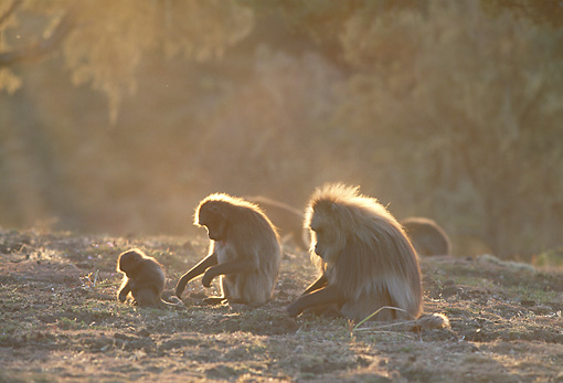 PRM 06 MH0019 01 © Kimball Stock Two Adult Gelada Baboons And Baby Sitting On Savanna At Dusk Profile