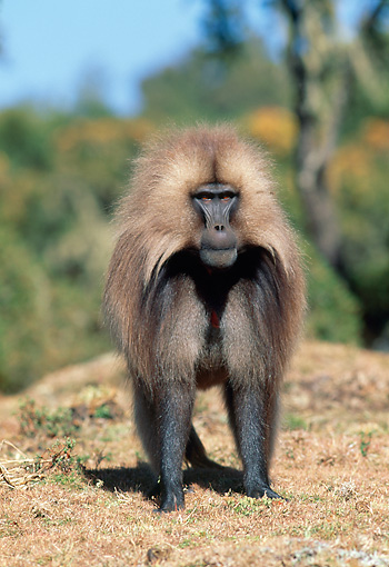 PRM 06 MH0022 01 © Kimball Stock Gelada Baboon Standing On Savanna