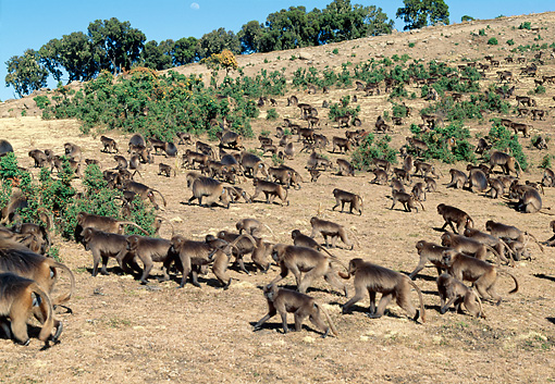 PRM 06 MH0025 01 © Kimball Stock Colony Of Gelada Baboons Walking On Savanna