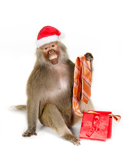 PRM 06 RK0062 01 © Kimball Stock Baboon Wearing Santa Hat Holding Tie From Present White Seamless