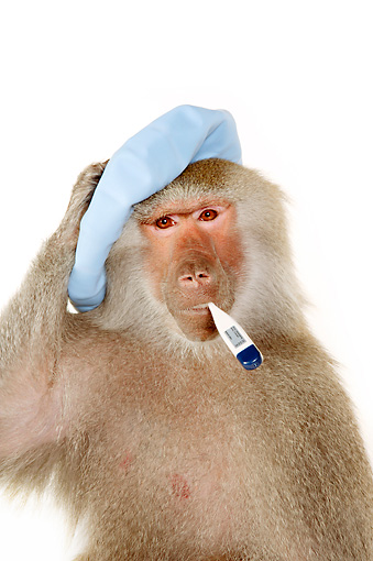 PRM 06 RK0072 01 © Kimball Stock Sick Baboon Holding Cold Pack On Head Thermometer In Mouth White Seamless