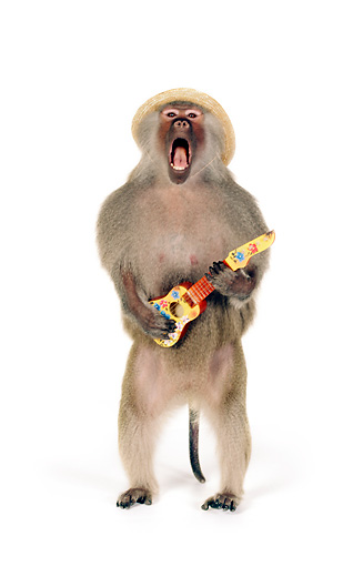 PRM 06 RK0079 01 © Kimball Stock Humorous Shot Of Baboon Wearing Hat Standing Playing Little Guitar Singing On White Seamless