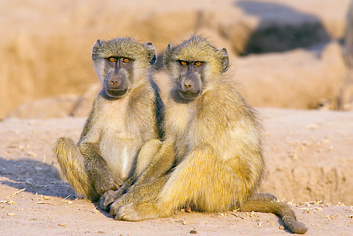 PRM 06 WF0001 01 © Kimball Stock Two Chacma Baboons Sitting On Dirt In Early Morning