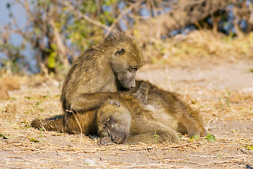 PRM 06 WF0003 01 © Kimball Stock Two Chacma Baboon Females Grooming