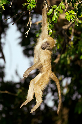 PRM 06 WF0004 01 © Kimball Stock Young Chacma Baboon Hanging From Tree Branch