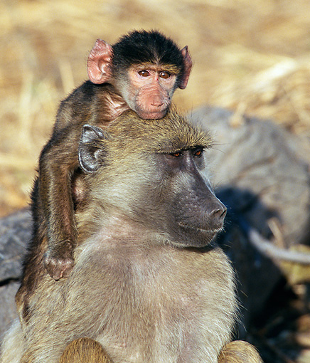 PRM 06 WF0007 01 © Kimball Stock Portrait Of Young Chacma Baboon Riding On Mother's Back