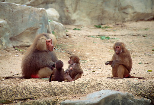 PRM 06 JM0001 01 © Kimball Stock Hamadryas Baboon Adults And Young Sitting On Dirt By Rock