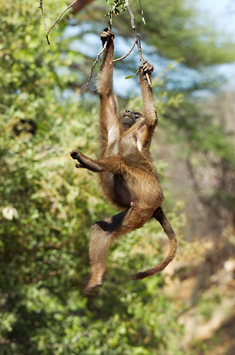 PRM 06 NE0002 01 © Kimball Stock Olive Baboon Swinging From Tree Branch Kenya