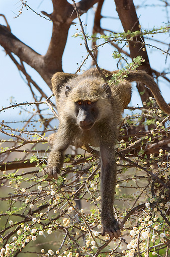 PRM 06 NE0003 01 © Kimball Stock Olive Baboon Sitting In Tree Kenya
