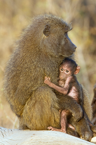 PRM 06 NE0005 01 © Kimball Stock Olive Baboon Mother And Baby Sitting On Log Kenya