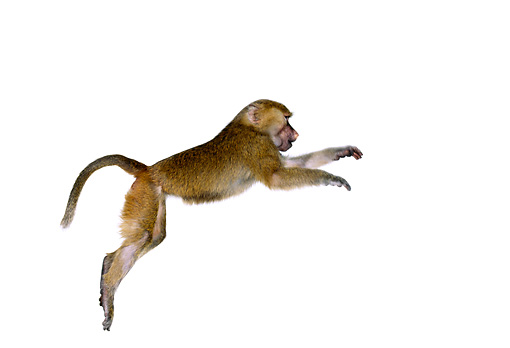 PRM 06 RK0012 03 © Kimball Stock Profile Of Olive Baboon Leaping On White Seamless