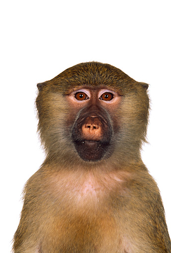 PRM 06 RK0014 04 © Kimball Stock Head On Head Shot Of Olive Baboon White Seamless