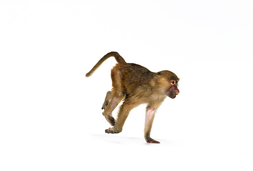 PRM 06 RK0016 03 © Kimball Stock Olive Baboon Running On White Seamless