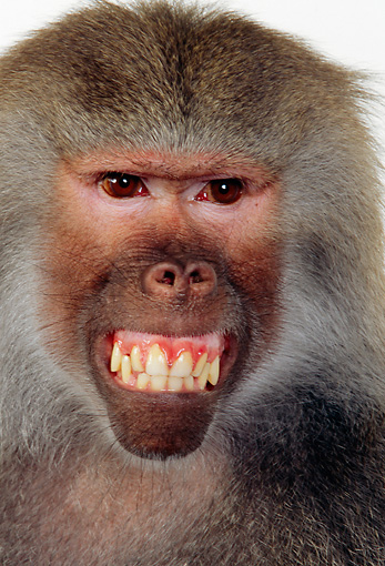 PRM 06 RK0037 06 © Kimball Stock Head Shot Of Baboon Smiling Facing Camera White Seamless