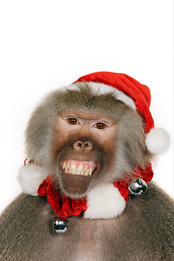 PRM 06 RK0056 01 © Kimball Stock Head Shot Of Baboon Wearing Christmas Hat And Scarf