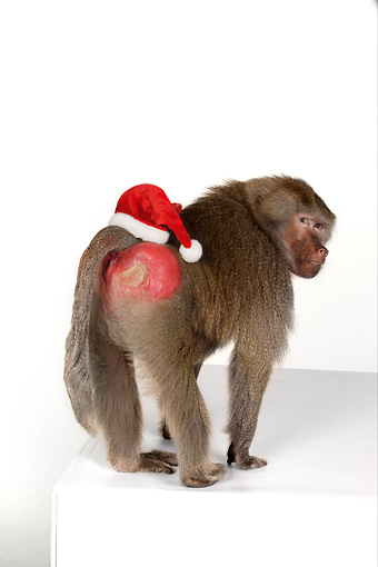 PRM 06 RK0057 01 © Kimball Stock Humorous Shot Of Baboon With Santa Hat On Rear White Seamless