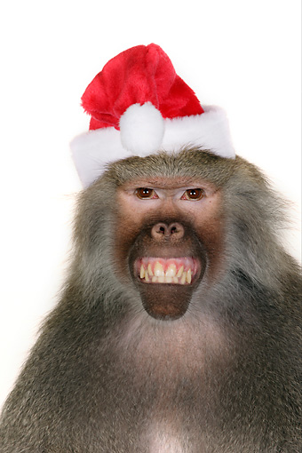 PRM 06 RK0059 01 © Kimball Stock Close Up Of Baboon Smiling Wearing Santa Hat White Seamless