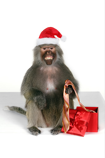 PRM 06 RK0060 01 © Kimball Stock Baboon Holding Tie From Christmas Presents Wearing Santa Hat White Seamless