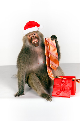 PRM 06 RK0061 01 © Kimball Stock Baboon Wearing Santa Hat Holding Tie From Present White Seamless
