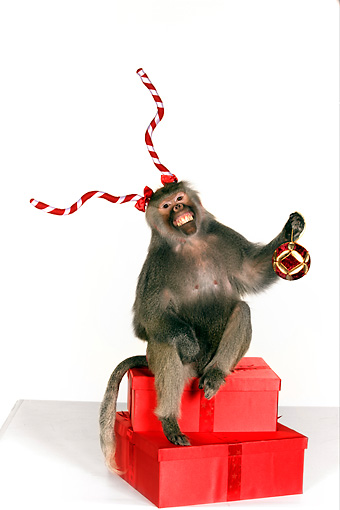 PRM 06 RK0063 01 © Kimball Stock Baboon Wearing Antlers Sitting On Christmas Presents Holding Ornament