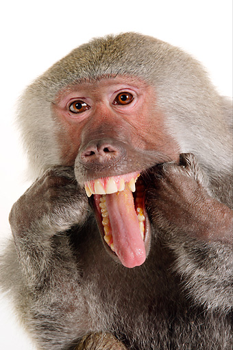 PRM 06 RK0073 01 © Kimball Stock Close Up Head Shot Of Baboon Making Funny Face White Seamless