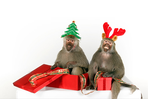 PRM 06 RK0077 01 © Kimball Stock Humorous Shot Of Two Baboons Wearing Christmas Hats Sitting By Presents