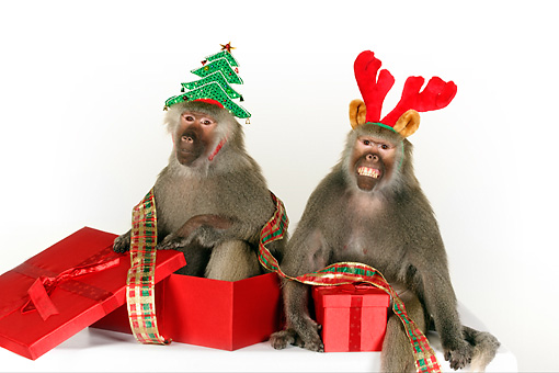 PRM 06 RK0078 01 © Kimball Stock Humorous Shot Of Two Baboons Wearing Christmas Hats Sitting By Presents