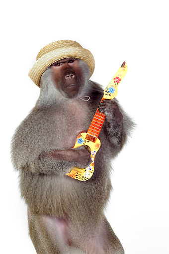 PRM 06 RK0080 01 © Kimball Stock Humorous Shot Of Baboon Wearing Hat Standing Playing Guitar On White Seamless