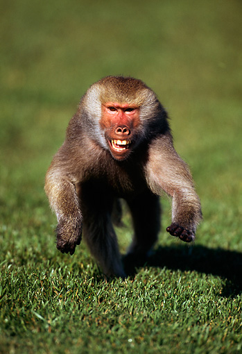PRM 06 TL0003 01 © Kimball Stock Hamadryas Baboon Running Towards Camera Across Grass