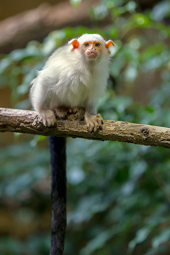PRM 10 AC0019 01 © Kimball Stock Silvery Marmoset Sitting On Branch