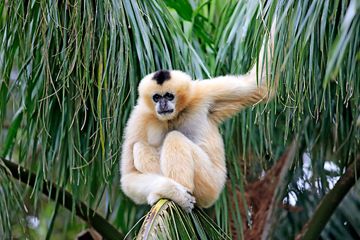 PRM 10 AC0020 01 © Kimball Stock Northern White-Cheeked Gibbon Female Sitting In Tree
