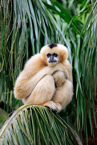 PRM 10 AC0021 01 © Kimball Stock Northern White-Cheeked Gibbon Female Sitting In Tree