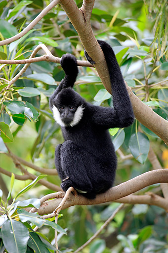 PRM 10 AC0022 01 © Kimball Stock Northern White-Cheeked Gibbon Male Sitting In Tree