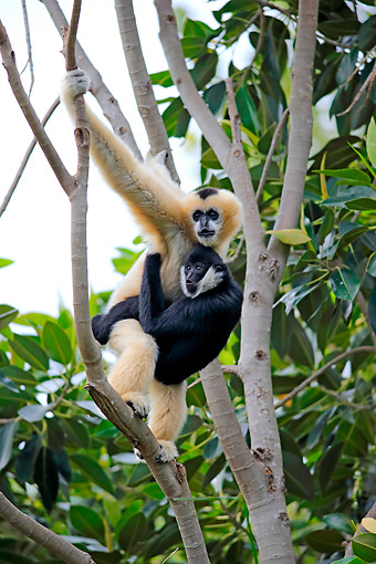 PRM 10 AC0023 01 © Kimball Stock Northern White-Cheeked Gibbon Mother With Young In Tree