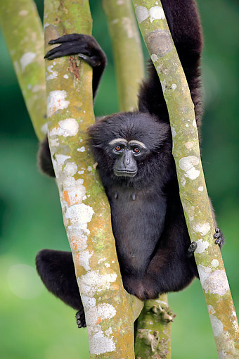 PRM 10 AC0024 01 © Kimball Stock Agile Gibbon (Black-Handed Gibbon) Hanging From Trees