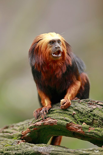 PRM 10 AC0027 01 © Kimball Stock Golden Headed Lion Tamarin Standing On Log
