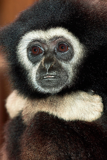 PRM 10 GL0001 01 © Kimball Stock Portrait Of White-Handed Gibbon
