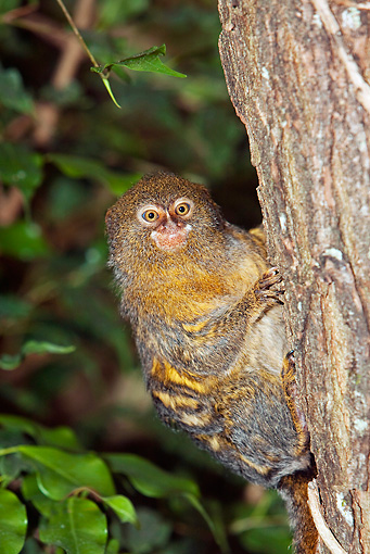 PRM 10 GL0002 01 © Kimball Stock Portrait Of Pygmy Marmoset Climbing On Tree Trunk