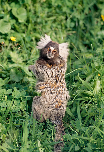 PRM 10 GL0004 01 © Kimball Stock Common Marmoset Standing Upright Looking Back