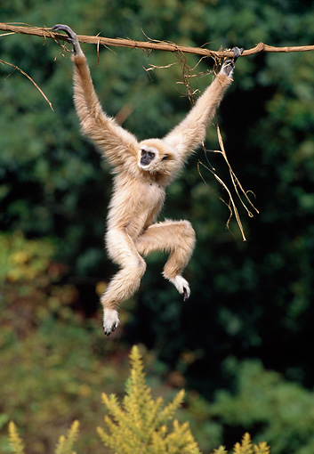 PRM 10 GL0005 01 © Kimball Stock Lar Gibbon Hanging On Branch
