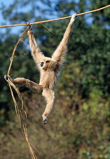 PRM 10 GL0008 01 © Kimball Stock White-Handed Gibbon Hanging From Branch